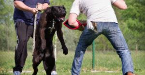 cane-corso-training