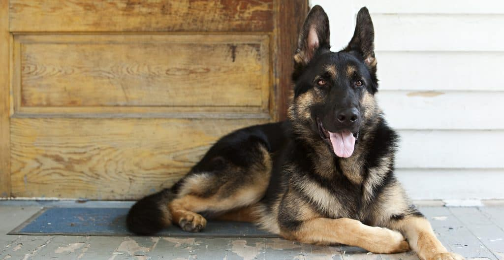 german-shepherd-guarding-house