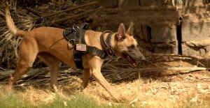 german-shepherd-on-guard