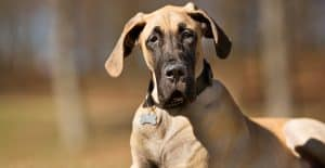 great-dane-heading