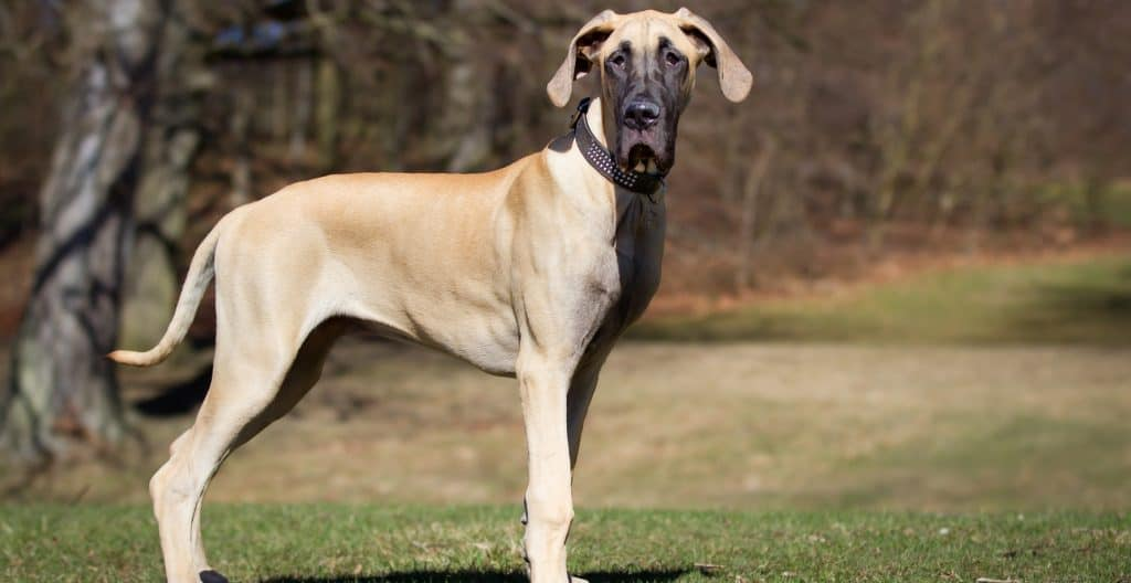 great-dane-solo-outside