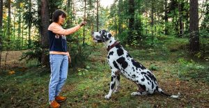 great-dane-training