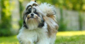 SHIH-TZU-EXERCISE-OUTDOOR