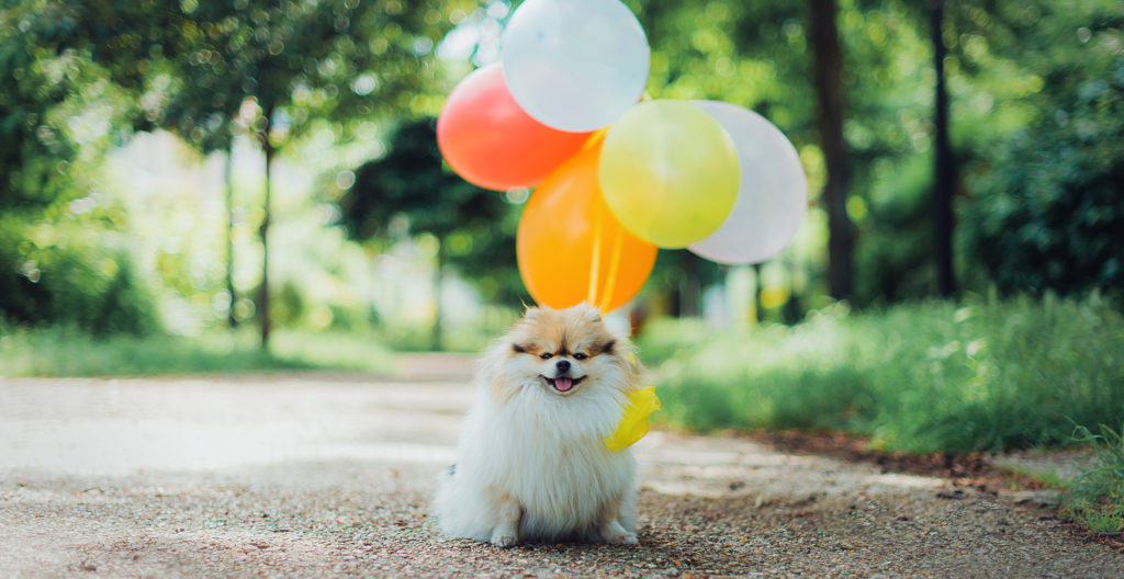 pomeranian-with-baloons
