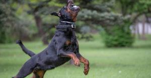 rottweiler-exercise