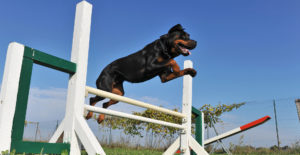 rottweiler-training