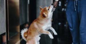 shiba-inu-exercise