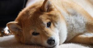 shiba-inu-relaxing