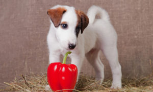 can-dogs-eat-bell-peppers