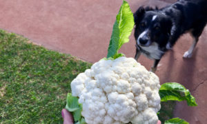 can-dogs-eat-cauliflower