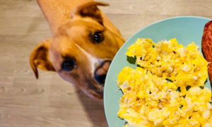 can-dogs-eat-eggs