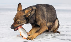 can-dogs-eat-fish