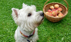 can-dogs-eat-nectarines