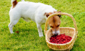 can-dogs-eat-raspberries