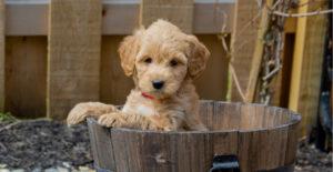 goldendoodle-breed-guide-about