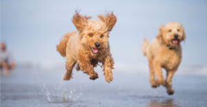 goldendoodle-breed-guide-exercise
