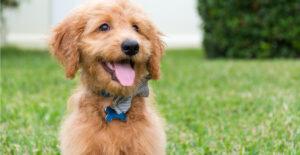 goldendoodle-breed-guide-header