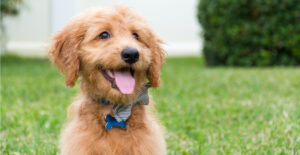 goldendoodle-breed-guide-header