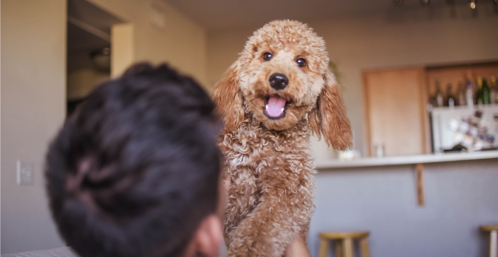 goldendoodle-breed-guide-personality