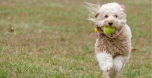 goldendoodle-breed-guide-training