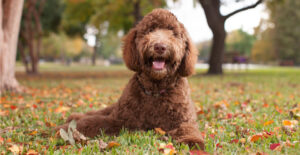 labradoodle-breed-guide-header