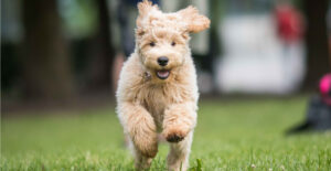 labradoodle-doing-exercise