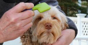 labradoodle-grooming