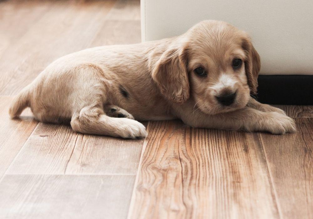 cute-spaniel-puppy-lies-on-the-floor