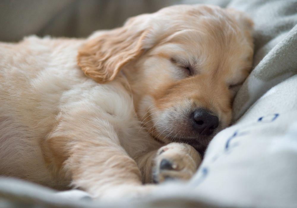 golden-retriever-puppy-sleeping