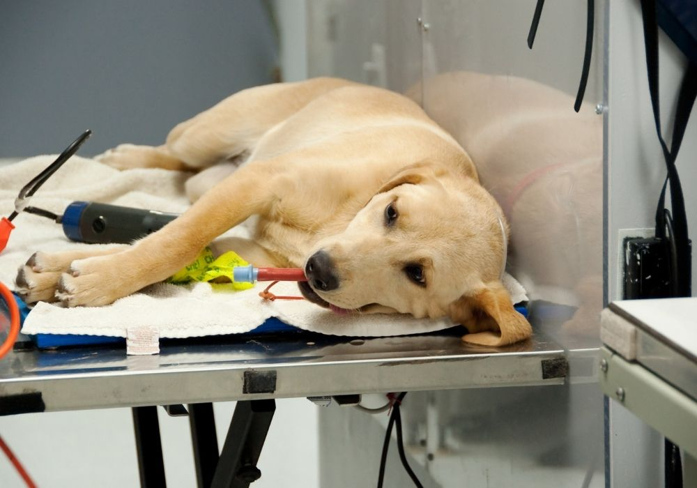 spaying-dog-vet-clinic