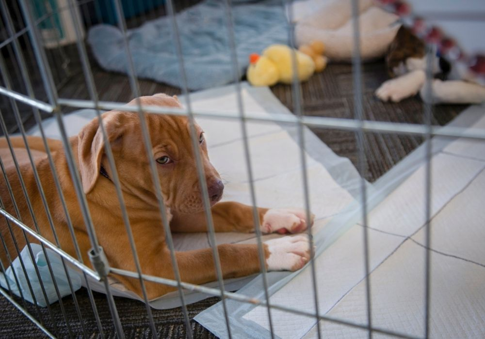 puppy-inside-crate-with-toys-pee-pad