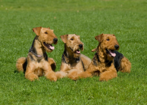 airedale-terrier-dog-breed-gallery