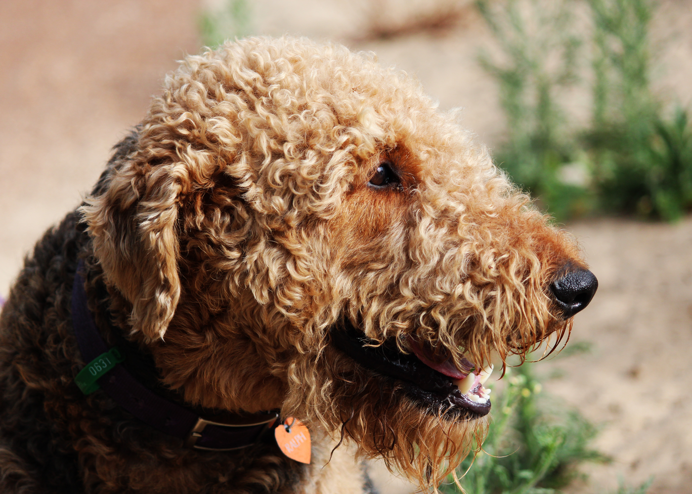 airedale-terrier-dog-breed-grooming