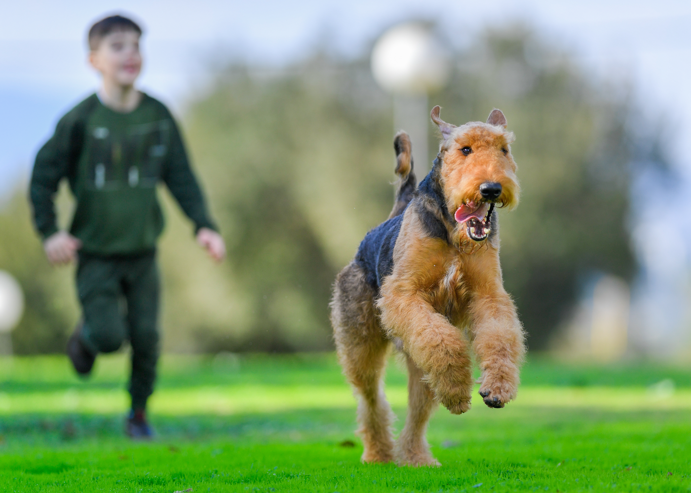 airedale-terrier-dog-breed-personality