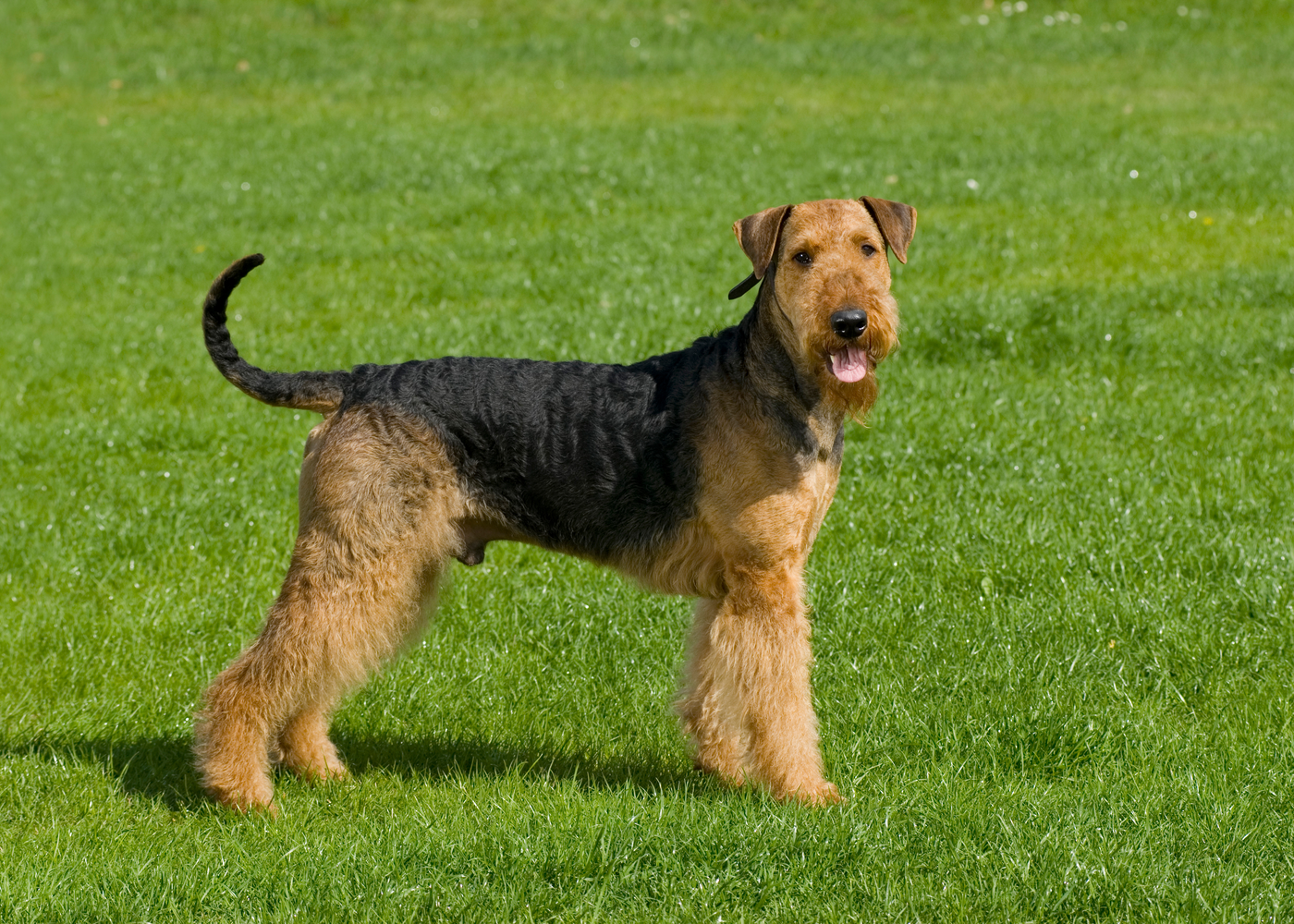 airedale-terrier-dog-breed-size