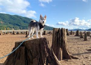 alaskan-klee-kai-dog-breed