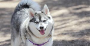 alaskan-klee-kai-dog-breed-guide-header