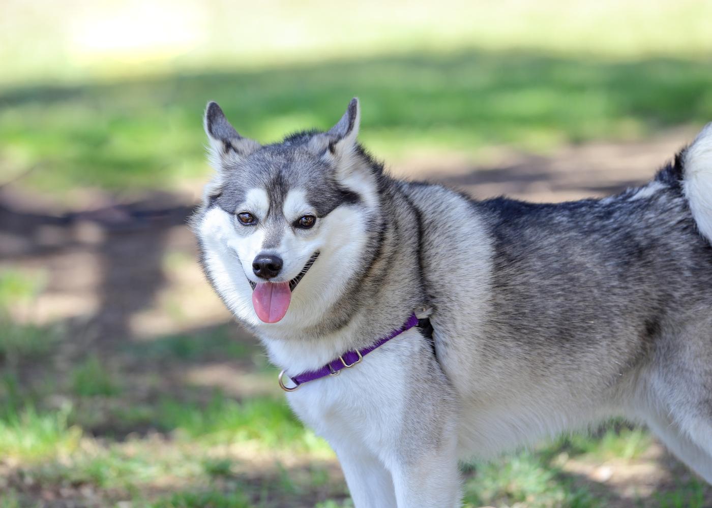 alaskan-klee-kai-dog-breed-guide-history