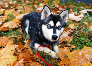 alaskan-klee-kai-dog-breed-guide-personality-and-temperament