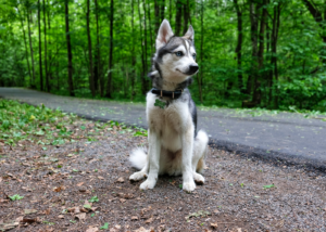 alaskan-klee-kai-dog-breed-guide-size