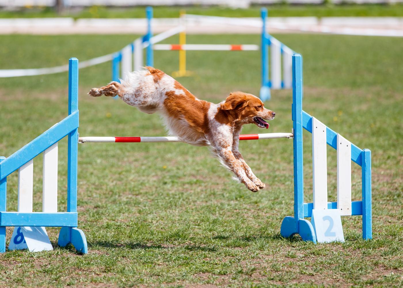 alaskan-klee-kai-dog-breed-guide-training