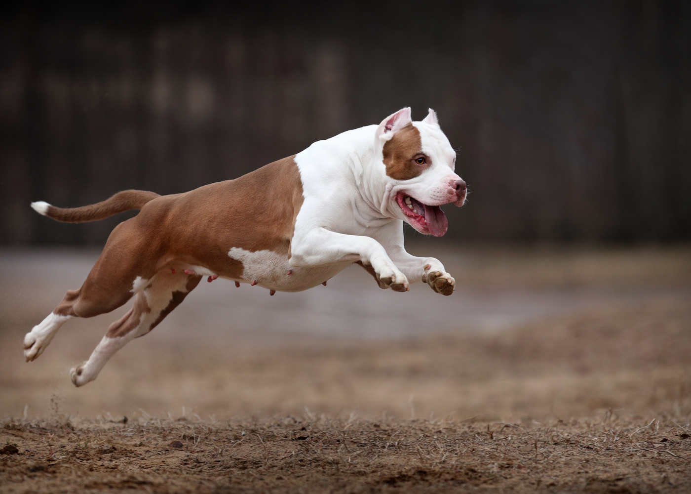 american-pit-bull-terrier-dog-breed-exercise