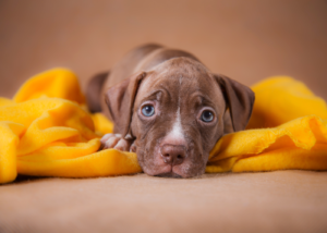 american-pit-bull-terrier-dog-breed-gallery