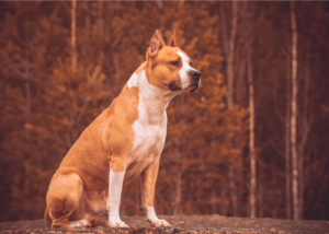 american-pit-bull-terrier-dog-breed-history