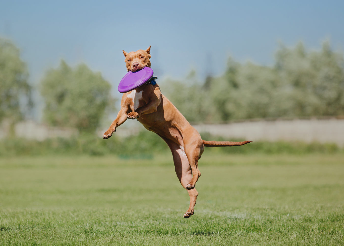 american-pit-bull-terrier-dog-breed-training