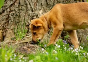 chinook-dog-breed-guide-feeding