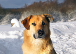 chinook-dog-breed-guide-gallery