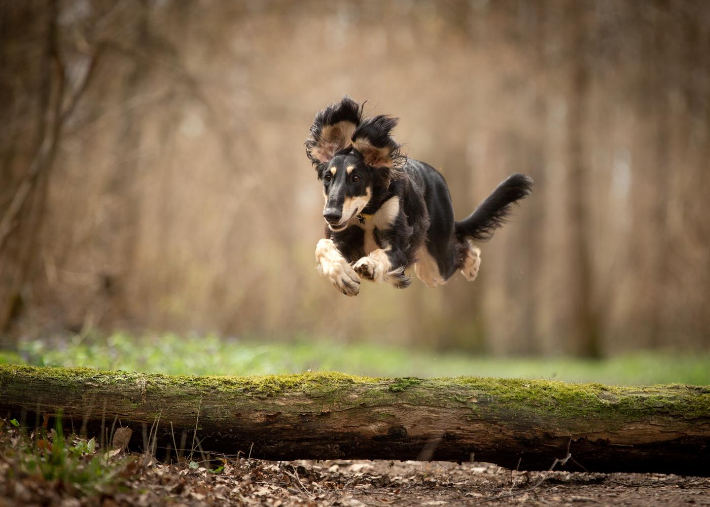 saluki-dog-breed-exercise