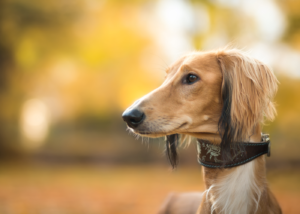 saluki-dog-breed-gallery