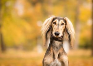 saluki-dog-breed-grooming